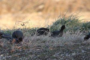 草を食むオオバン