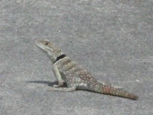 通勤途中に歩道を歩いていたトカゲ!(バハブルーロックリザードか?)