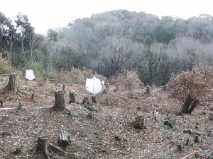 落ち葉掻き後の伐採区